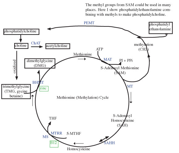 methonine comprehensive cycle